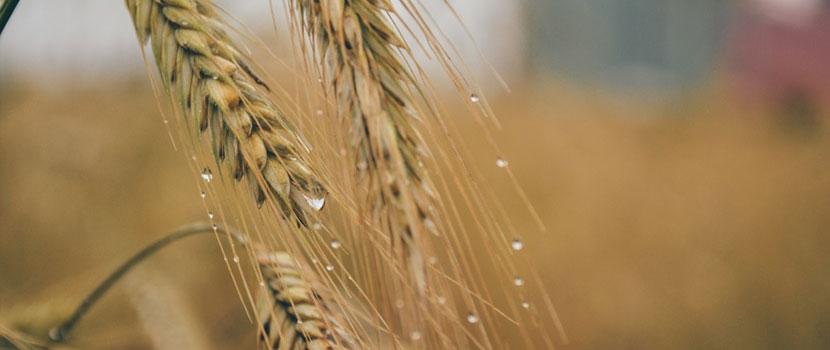 Legatura dintre alimentele modificate genetic si intoleranta la gluten