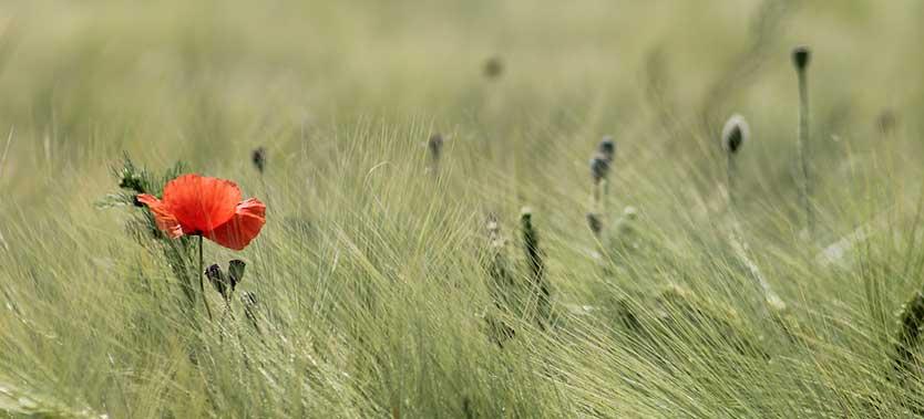 Cum poti creste iarba de grau acasa