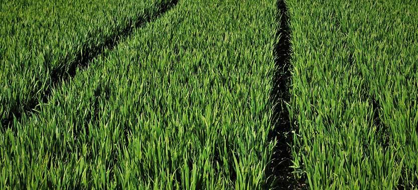 Informatii nutritionale pentru iarba de grau
